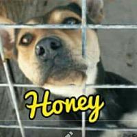Adopt A Pet :: Honey - Odessa, TX