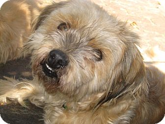 Lhasa Apso Mix Dog for adoption in Clayton, California - Noodle