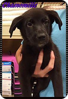 Labrador Retriever Mix Puppy for adoption in Ahoskie, North Carolina - Chamomille