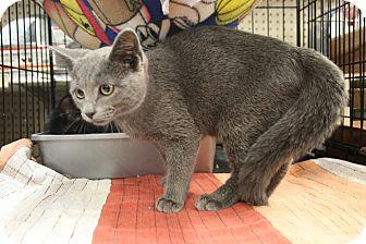 Domestic Shorthair Kitten for adoption in Rochester, Minnesota - Hutch