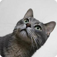 Domestic Mediumhair Cat for adoption in Cedar Rapids, Iowa - Lokie