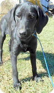 Labrador Retriever/Coonhound Mix Puppy for adoption in Allentown, New Jersey - Rachael