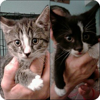 Domestic Shorthair Kitten for adoption in Bronx, New York - Thelma & Louise