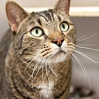 Domestic Shorthair Cat for adoption in Stafford, Virginia - Murray