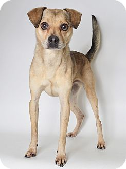 Spitz (Unknown Type, Medium)/Chihuahua Mix Dog for adoption in Fruit Heights, Utah - Kermit
