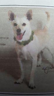Chihuahua Dog for adoption in Yelm, Washington - Flash