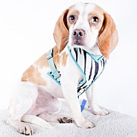 Beagle Dog for adoption in St. Louis Park, Minnesota - Marcus