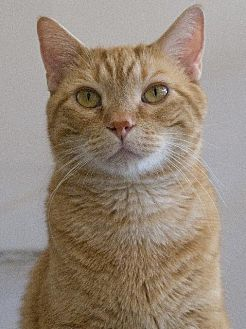 Domestic Shorthair Cat for adoption in St. Louis, Missouri - Simba
