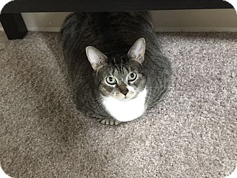 Domestic Shorthair Cat for adoption in Baltimore, Maryland - Margerie (COURTESY POST)