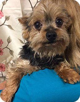 Yorkie, Yorkshire Terrier Mix Dog for adoption in Kansas city, Missouri - Teddy