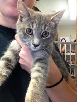 Domestic Shorthair/Domestic Shorthair Mix Cat for adoption in Cashiers, North Carolina - Sonar