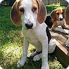 Adopt A Pet :: Norma's Pup Jorah
