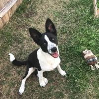 Adopt A Pet :: Lily - justin, TX