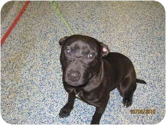 American Pit Bull Terrier/Labrador Retriever Mix Dog for adoption in Reisterstown, Maryland - Star