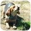 Photo 2 - Beagle Mix Dog for adoption in Atkins, Arkansas - JUNE BUG