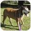 Photo 2 - Labrador Retriever/American Pit Bull Terrier Mix Dog for adoption in Berkeley, California - Schoen