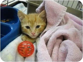 Domestic Shorthair Kitten for adoption in Washington Terrace, Utah - Polydactyl Kitten!!