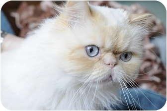 Himalayan Cat for adoption in Columbus, Ohio - Arizona