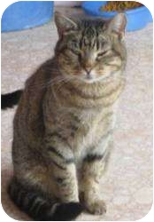 Domestic Shorthair Cat for adoption in Lubbock, Texas - Derby