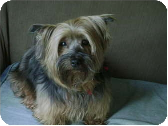 Yorkie, Yorkshire Terrier Dog for adoption in Owingsville, Kentucky - Toby