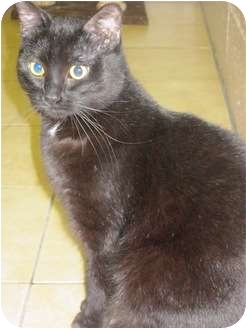 Domestic Shorthair Cat for adoption in Saanichton, British Columbia - Willow