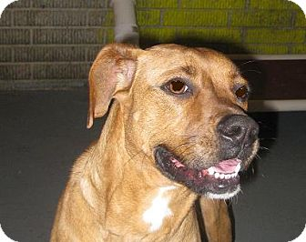 Boxer Mix Dog for adoption in Prole, Iowa - Taylor