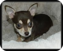 Chihuahua Mix Puppy for adoption in Hagerstown, Maryland - Peanut