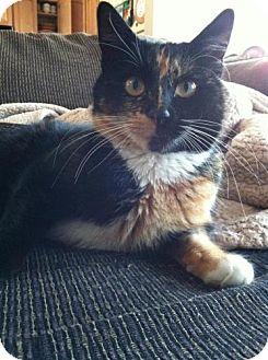 Calico Cat for adoption in mishawaka, Indiana - Kitty