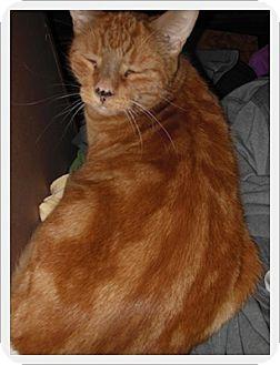 Domestic Mediumhair Cat for adoption in Duart, Ontario - Sammie