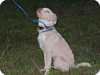 Labrador Retriever/Spaniel (Unknown Type) Mix Puppy for adoption in Wilminton, Delaware - Coconut