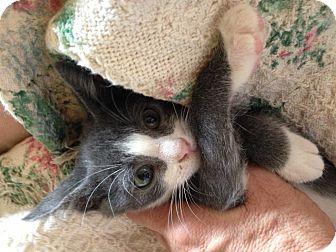 American Shorthair Kitten for adoption in Weatherford, Texas - Socks