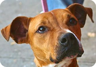 American Pit Bull Terrier Mix Dog for adoption in Brooklyn, New York - Prince