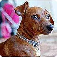 Adopt A Pet :: vivianne - Florissant, MO