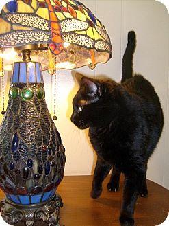 Domestic Shorthair Cat for adoption in Las Vegas, Nevada - Lala