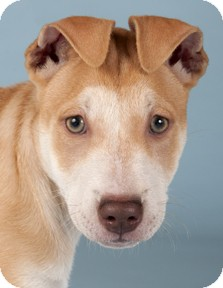 Shar Pei/Husky Mix Puppy for adoption in Chicago, Illinois - Penny