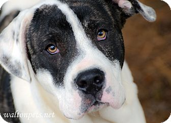 American Bulldog Mix Dog for adoption in Monroe, Georgia - Otis