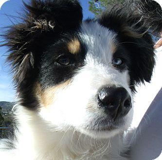 Australian Shepherd Puppy for adoption in Corona, California - KATIE