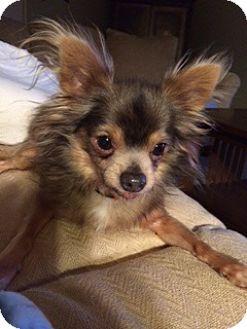 Chihuahua Dog for adoption in Gig Harbor, Washington - Bobo