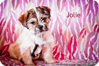 Shih Tzu/Yorkie, Yorkshire Terrier Mix Puppy for adoption in Lisbon, Iowa - Jolie