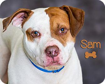 Bull Terrier/Pit Bull Terrier Mix Dog for adoption in Somerset, Pennsylvania - Sam