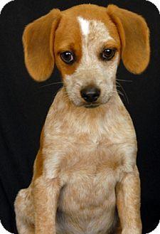 Coonhound/Australian Cattle Dog Mix Puppy for adoption in Newland, North Carolina - Skippy