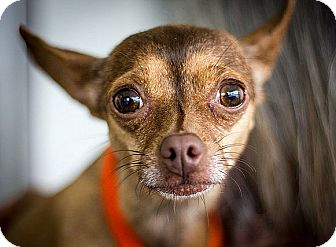 Miniature Pinscher Mix Dog for adoption in Berkeley, California - Jilly