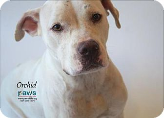 Boxer Mix Dog for adoption in Belle Chasse, Louisiana - Orchid
