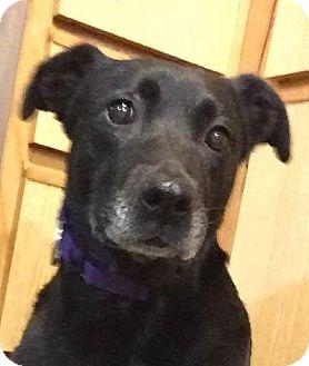 Labrador Retriever/Hound (Unknown Type) Mix Dog for adoption in Billerica, Massachusetts - Doris