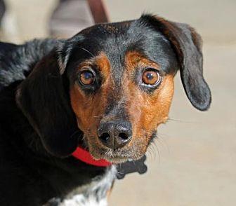 Beagle Mix Dog for adoption in Asheville, North Carolina - Gypsy
