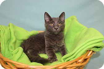 Domestic Mediumhair Kitten for adoption in Danville, Illinois - BONNIE