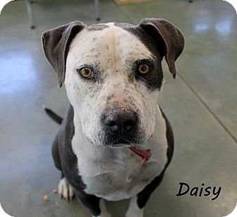 Pit Bull Terrier Mix Dog for adoption in Edgewood, New Mexico - Daisy