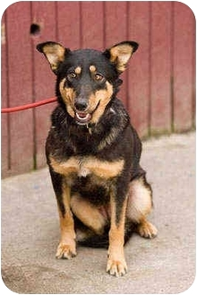 German Shepherd Dog Mix Dog for adoption in Portland, Oregon - Cecily