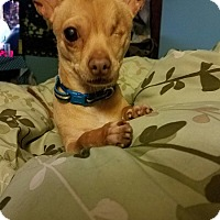 Chihuahua Dog for adoption in West Columbia, South Carolina - Barbossa