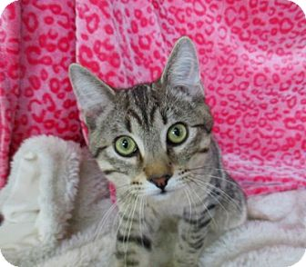 Domestic Shorthair Cat for adoption in Lloydminster, Alberta - Oswald